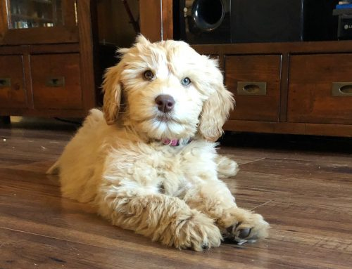Puppy Love in the Time of COVID-19 – Adopting a Puppy during Social Distancing